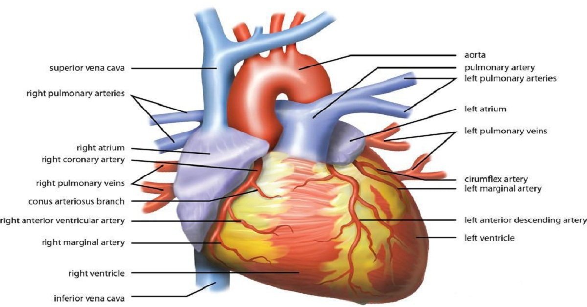 Precautions to Prevent Heart Diseases – Check These Life Saving Tips