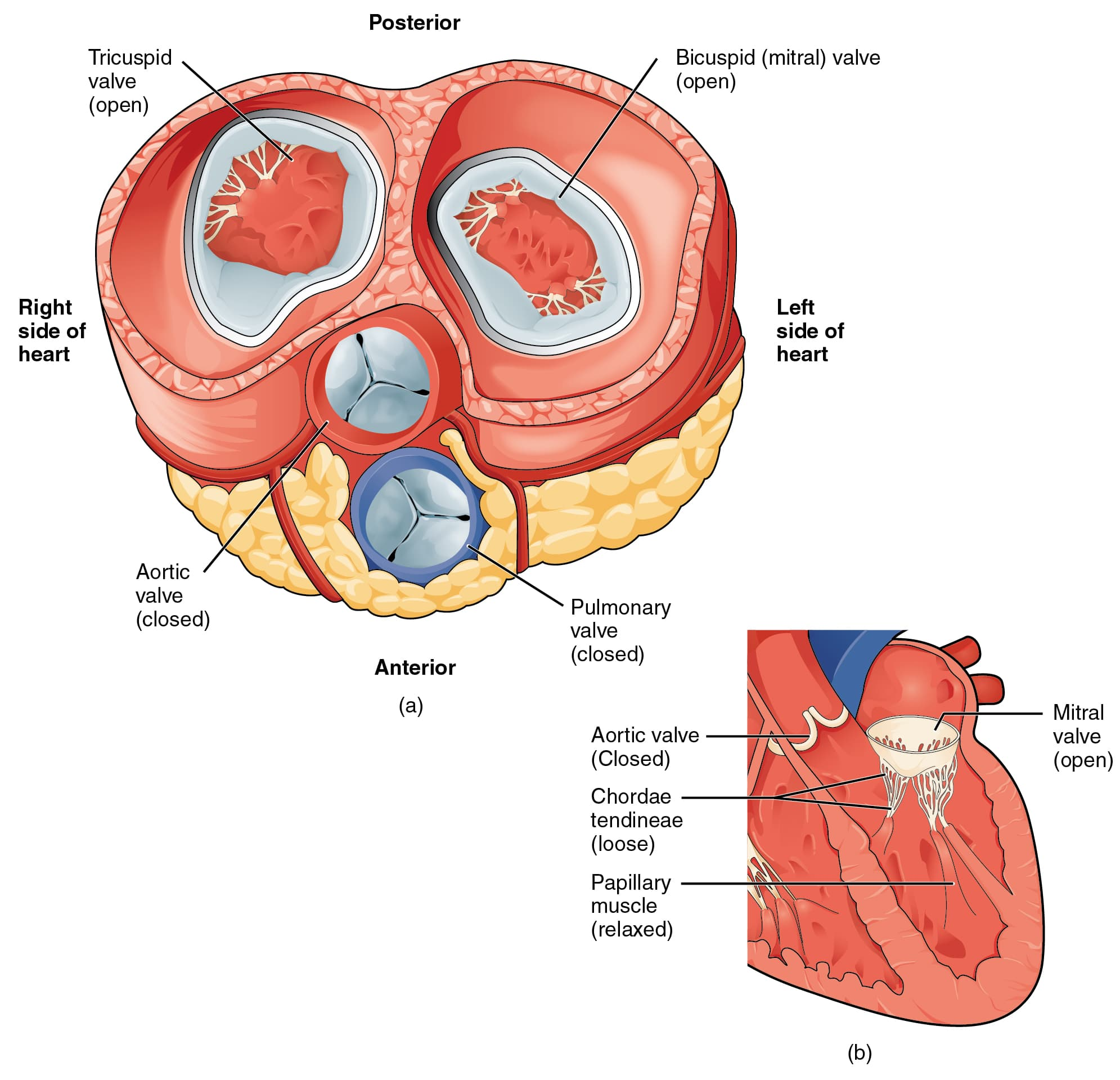 Heart Left Ventricle Blood Flow