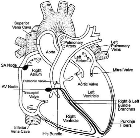 Structure of heart