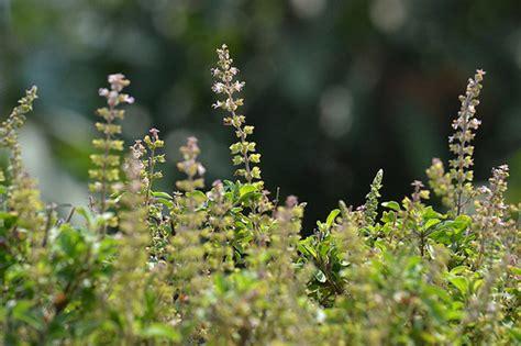 holy plant