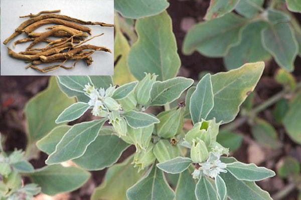 Aswagandha herb