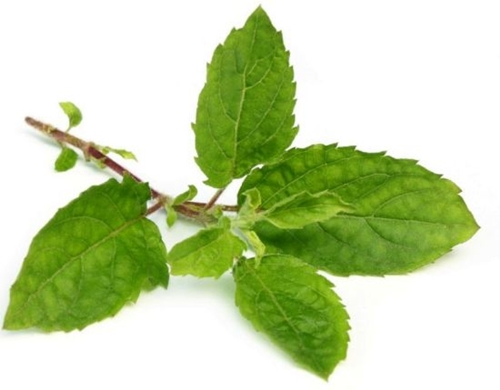 Know the Uses & Benefits of Tulsi Leaves for Your Daily Life