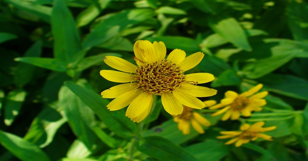 How Arnica used in Homeopathy?