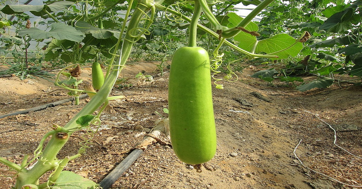 Health Benefits of Lauki juice or Bottle Gourd Juice