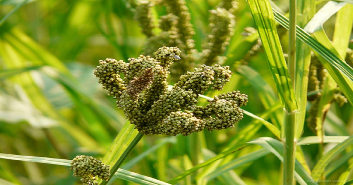 Surprising Health Benefits of Finger Millet that you should know