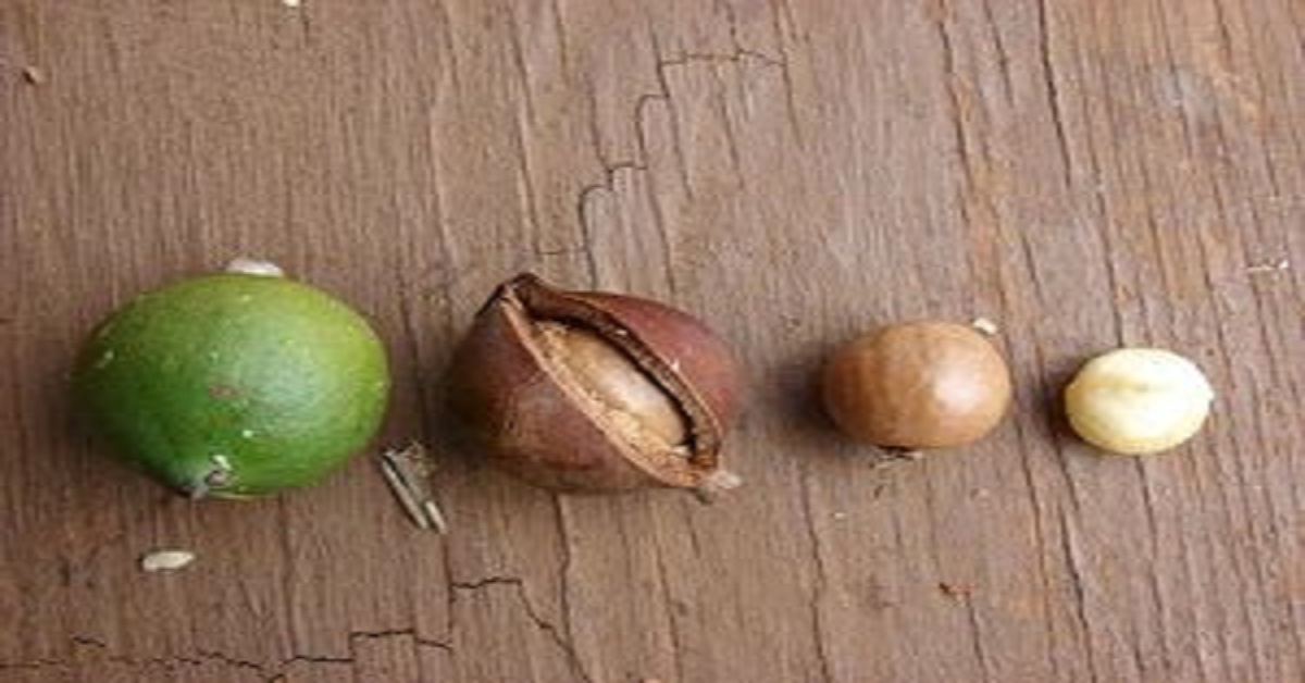 Ever Heard of Macadamia Nuts Before? Know these Amazing Health Benefits of Macadamia Nuts