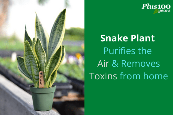 Snake Plant Purifies the Air and removes toxins from home