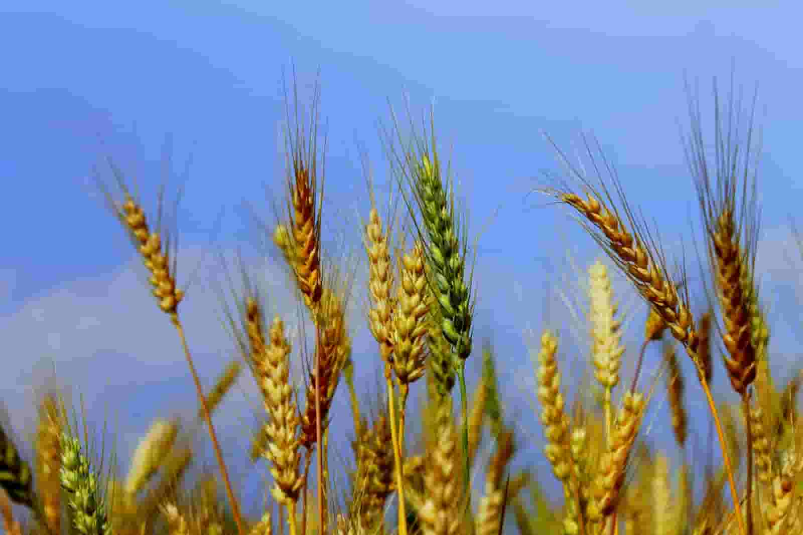 How Wheat Benefits your Health
