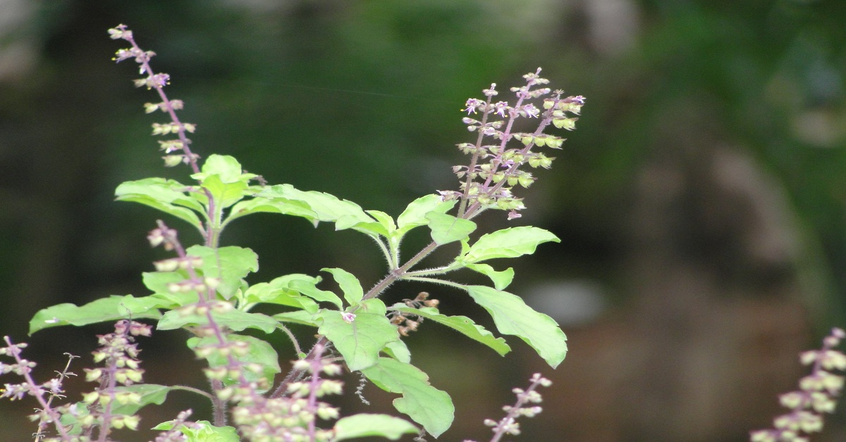 Amazing Health Benefits of Tulsi - Know Medicinal Uses of Tulsi